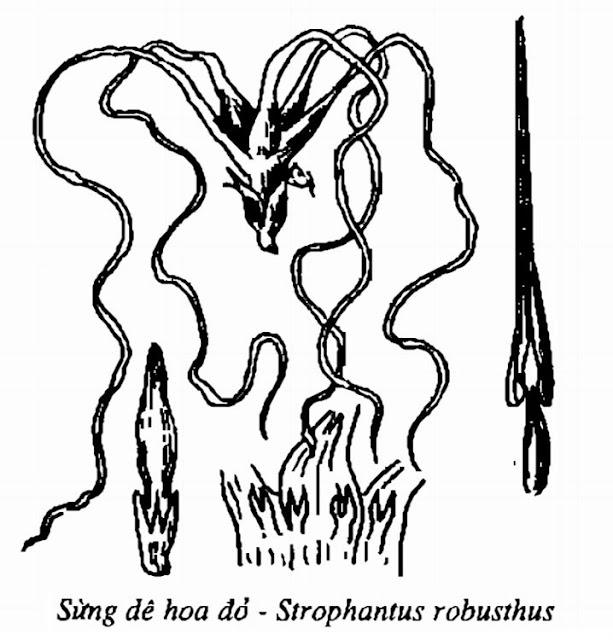 Hình vẽ Cây Sừng Dê hoa đỏ - Strophanthus robusthus - Nguyên liệu làm thuốc Chữa bệnh Tim