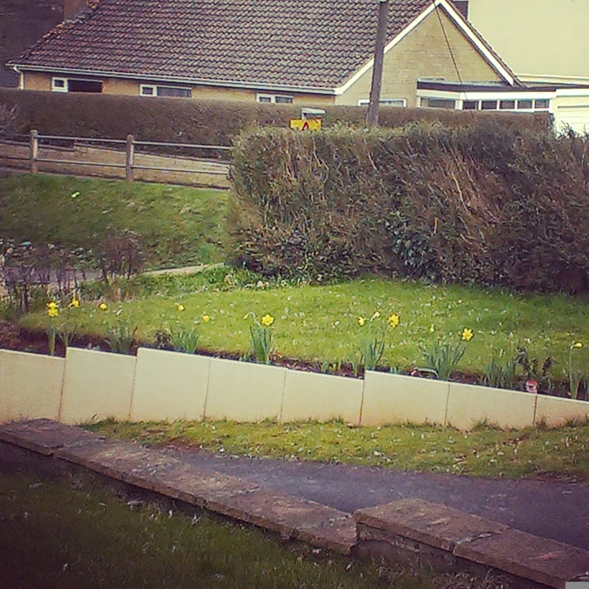 1pm - daffodils in our front garden