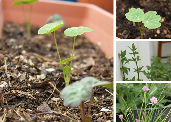 Nasturtium seedlings, catnip and chives // Garden Update: Mid May 2016 // WWW.THEJOYBLOG.NET