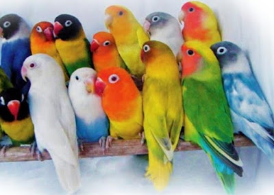 Begini Cara Budidaya Lovebird