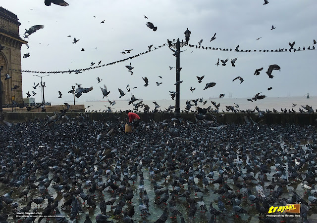 Pigeons feeding at the Gateway of India