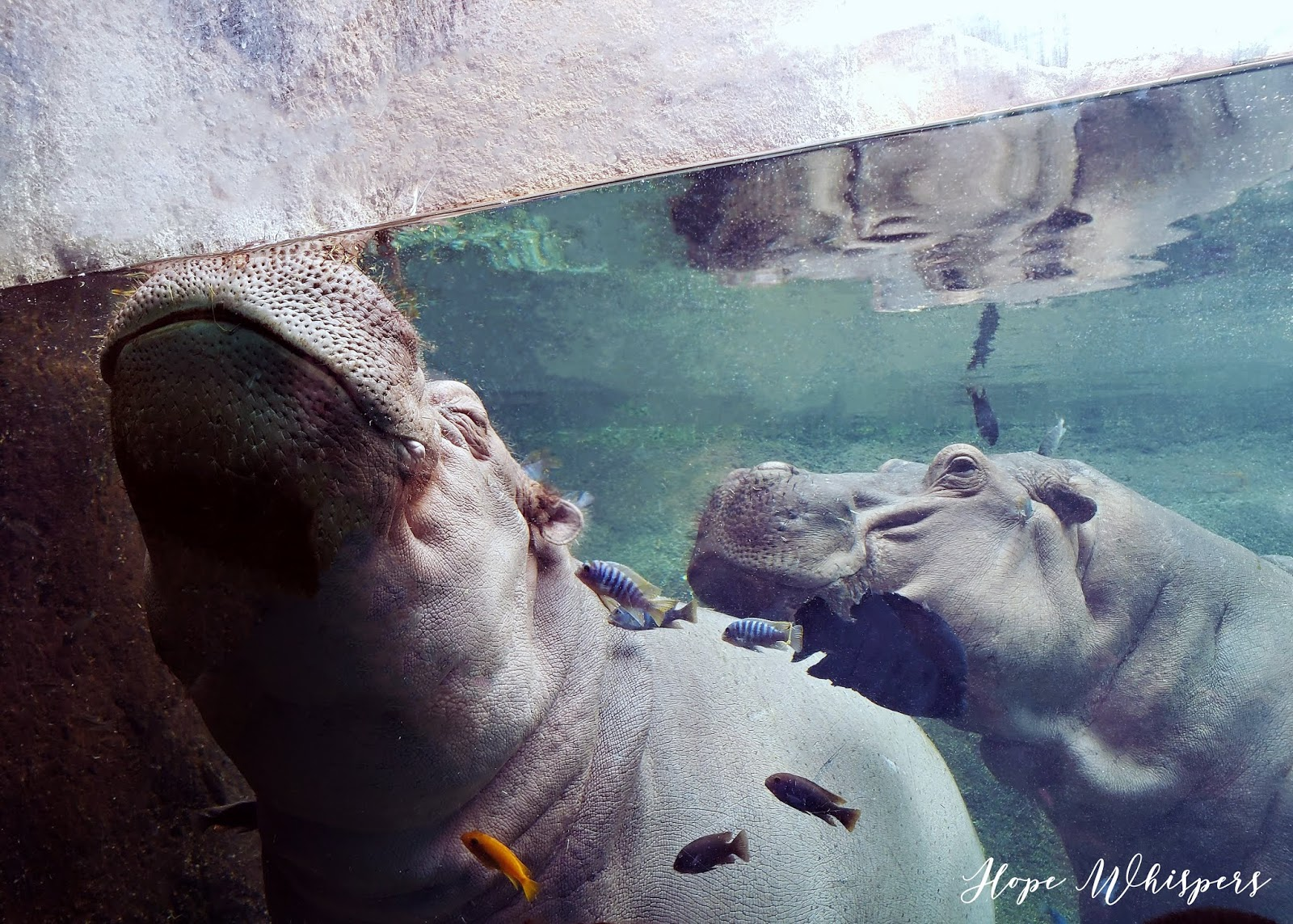 Happy Hippos at the San Antonio Zoo