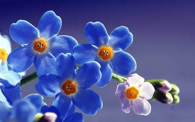 blue flower widescreen hd wallpaper