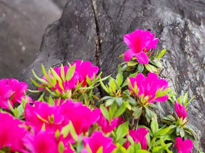 Azalea, flowers, stone,rock
