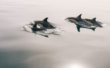 Wallpaper: Family of Dolphins