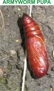 armyworm pupa