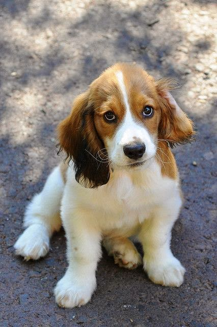 Cocker spaniel puppy - best of both worlds (am dying with the cuteness)