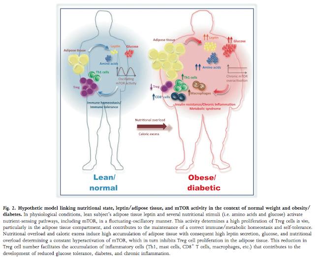 Инсулиновый каскад, mTOR и болезни цивилизации.