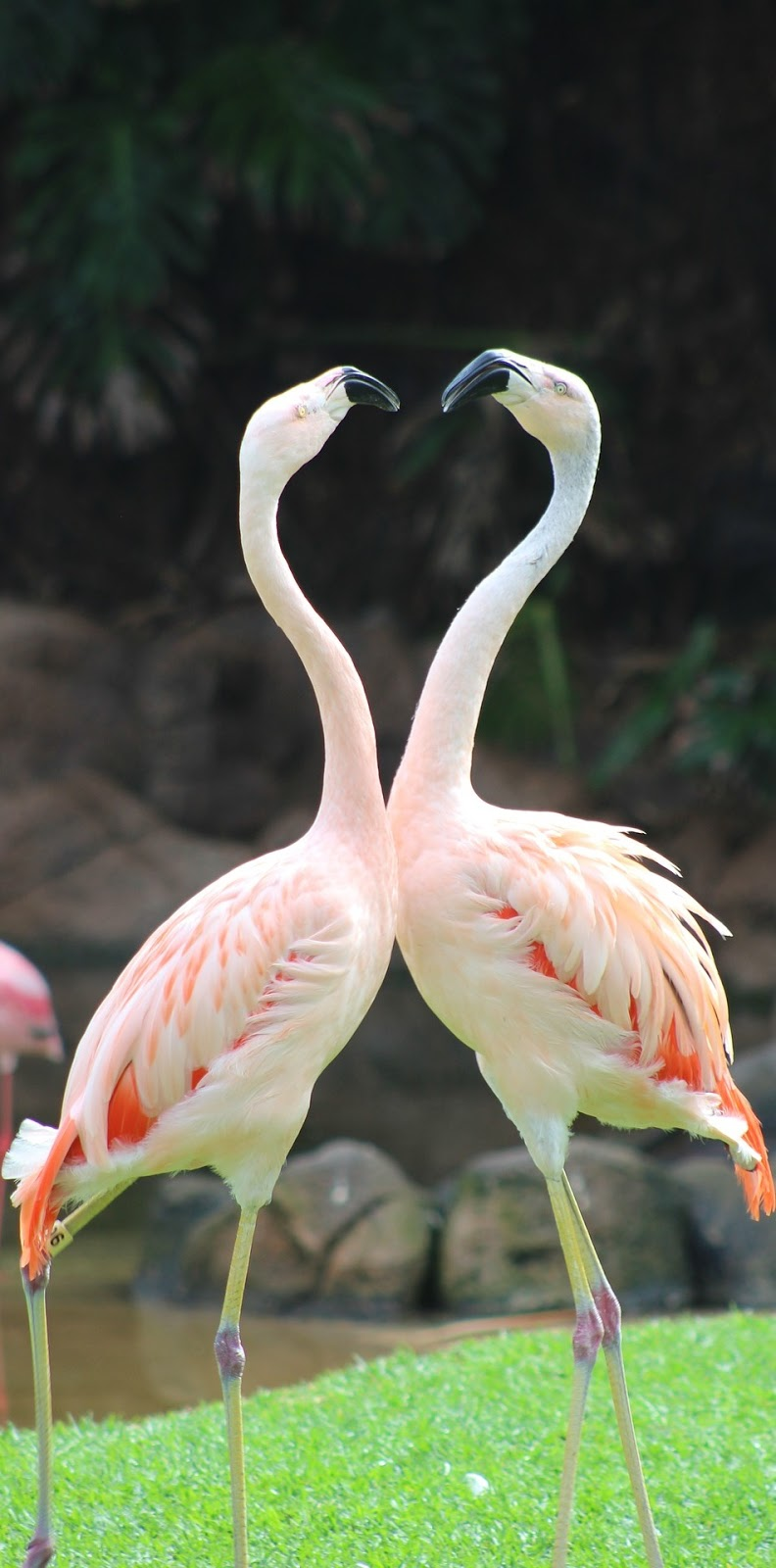 Picture of two flamingos.