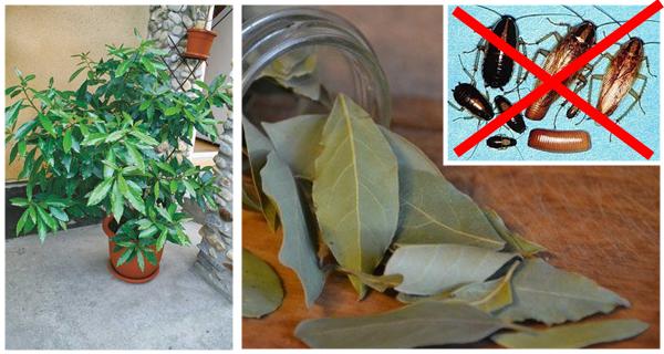 Scapati de gandaci cu ajutorul acestei plante