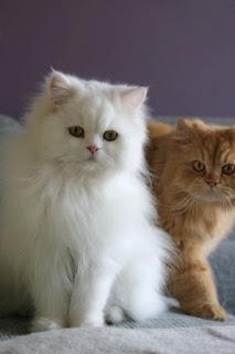 Penyebab Kucing Persia Lebih banyak Digemari