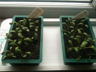 Temperature dipping? Embrace the heated propagator #gardening #lifeonpigrow