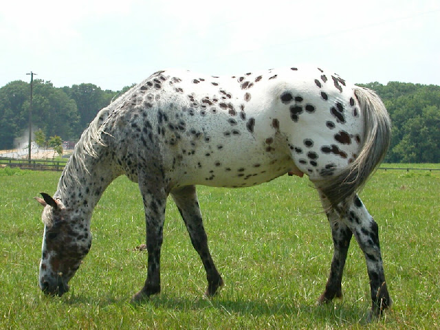 The beautiful Appaloosa horses | American horse breed