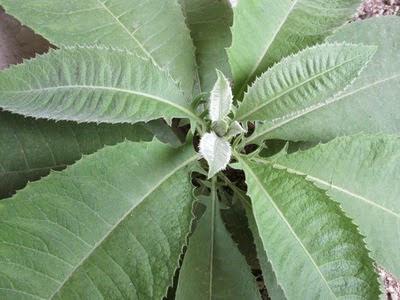 daun sembung untuk asam lambung