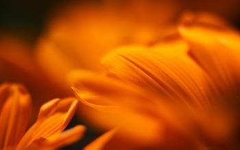 Wallpaper: Macro Petals Wallpaper: Mandarine