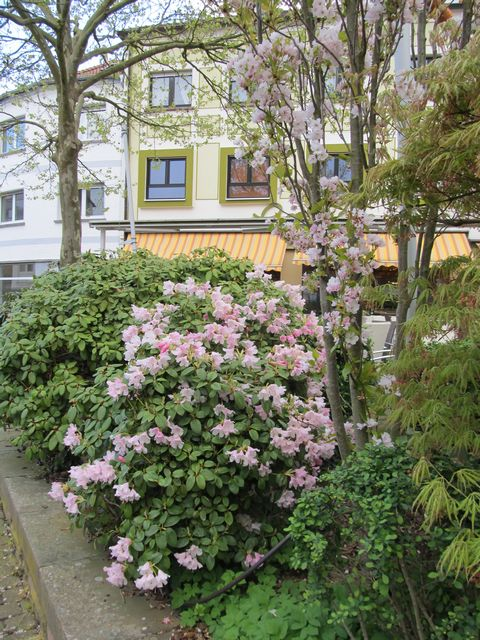 Frühlingsgruß (Rhododendron)