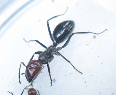 major worker of Camponotus saundersi