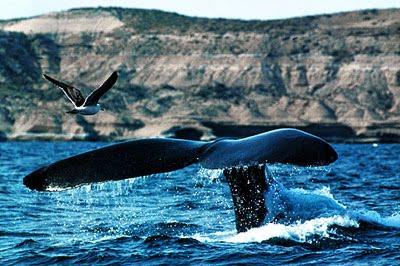 Whale Watching in Península Valdés - Puerto Pirámides y Puerto Madryn