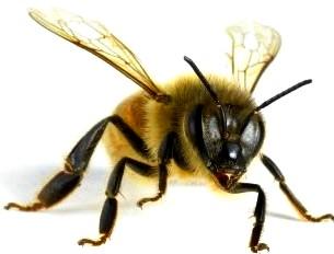 Imagen de una abeja a colores