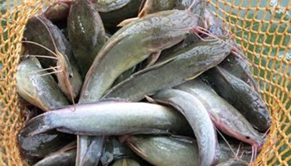 Umpan Jitu terbaik Memancing Ikan Lele