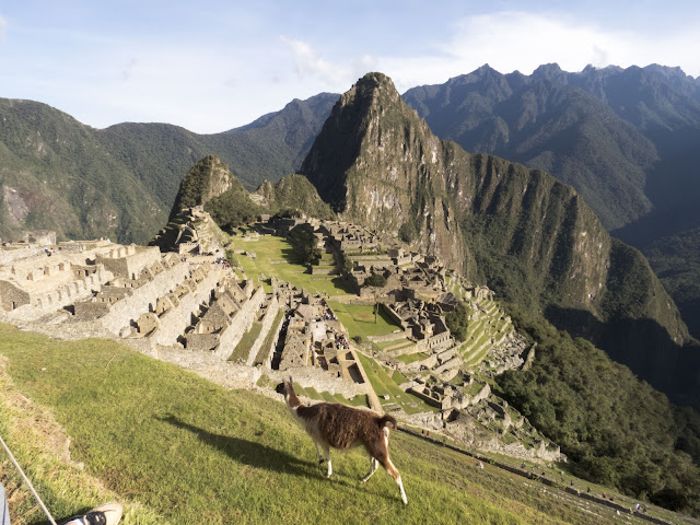 Pics of Machu Picchu: Llama mowing the lawn with the iconic city of Machu Picchu in the distance
