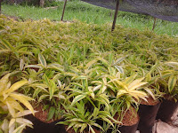 bibit dracena golden