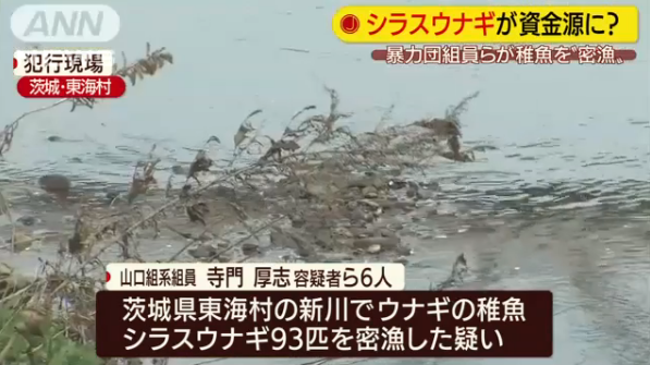 シラスウナギ 密漁