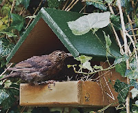 An open nesting box of the type preferred by blackbirds