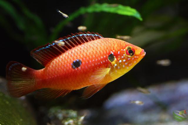 Hemichromis lifalili(sp.moanda)