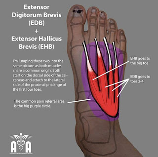 extensor digitorum brevis muscle, action, muscle picture