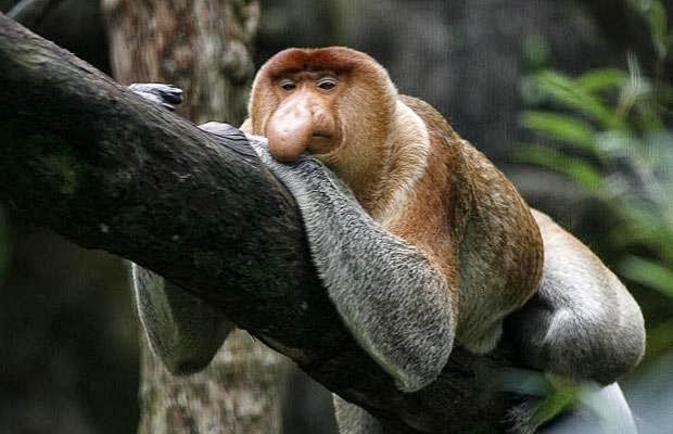 http://4.bp.blogspot.com/-bhc75C_mrVI/UjwTzenFjJI/AAAAAAAAAHY/GA3_t1VjVTA/s1600/proboscis-monkey_1417843i.jpg