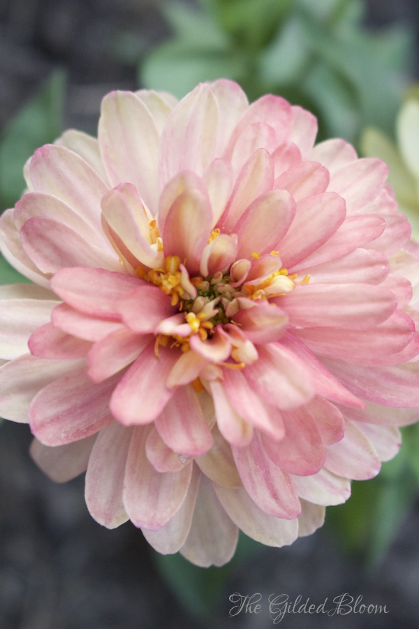 Zinnias- Hot Summer Flowers- www.gildedbloom.com