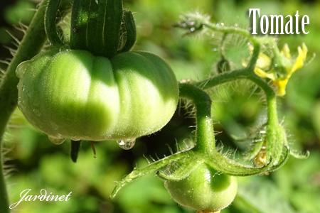 Tomate Gaúcho/Maçã