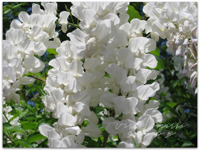 white wisteria longissima alba italy