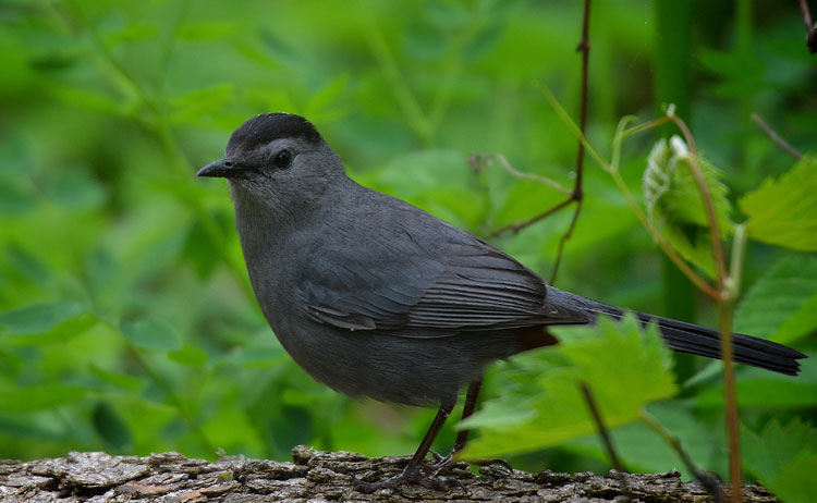 I saw this sweet catbird during the Biggest Week in American Birding warbler festival.