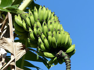 Banane - Bananier cultivé - Musa sp.