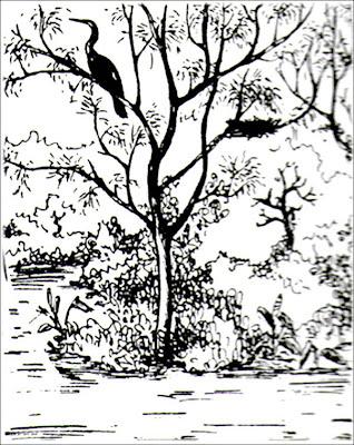 Aninga Anhinga anhinga