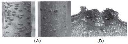 (a) lentisel pada epidermis batang, b) lentisel dibesarkan
