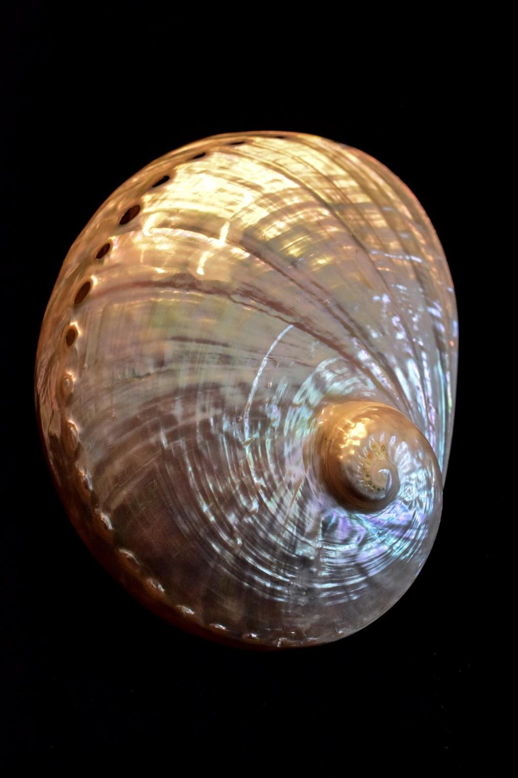Abalone snail shell.