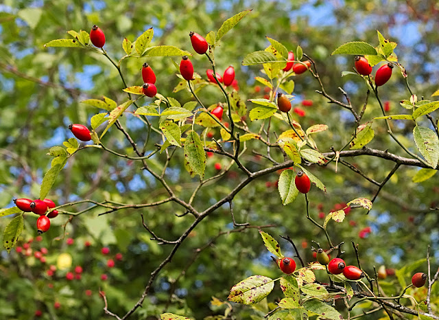 Arching briar with rose hips