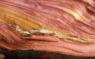 kayu cedar