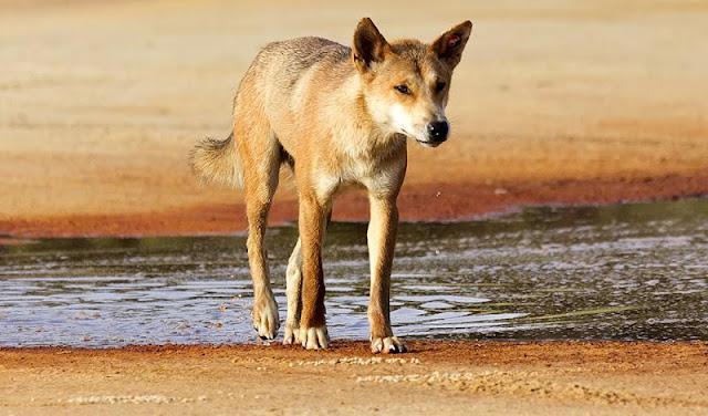 Chó Dingo Đông Dương