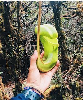 tumbuhan-kantong-semar-di-bukit-raya-2278-mdpl