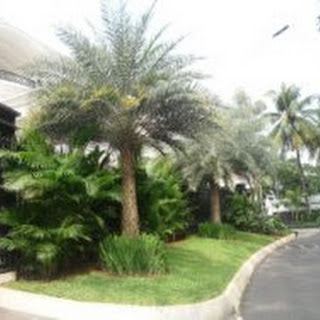 harga jual palm kenari murah