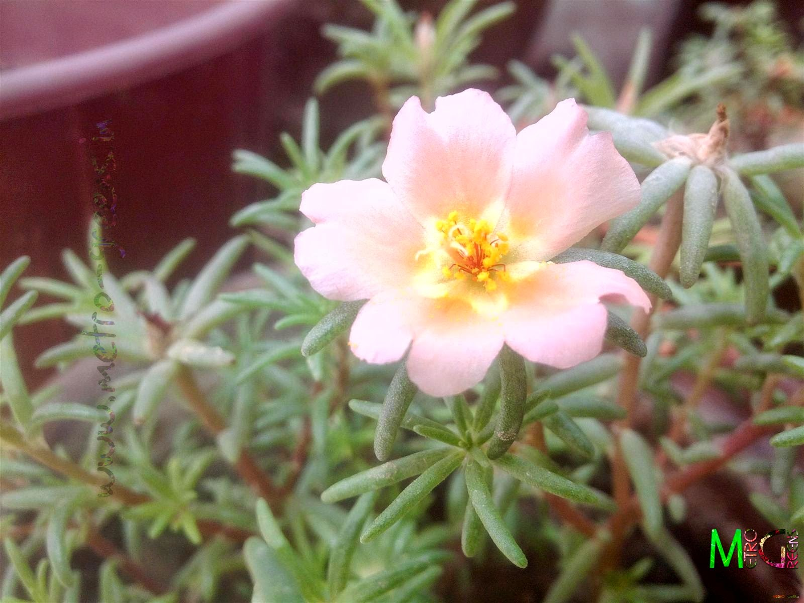 Metro Greens: A peach coloured portulaca bloom.