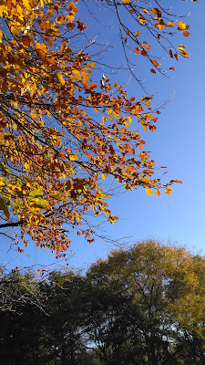 Beech leaves against the blue sky