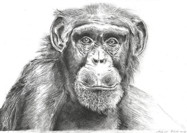 Bleistiftzeichnung Affe -  Andreas Blauth Zeichnungen
