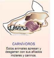 tipos de dientes en los mamiferos