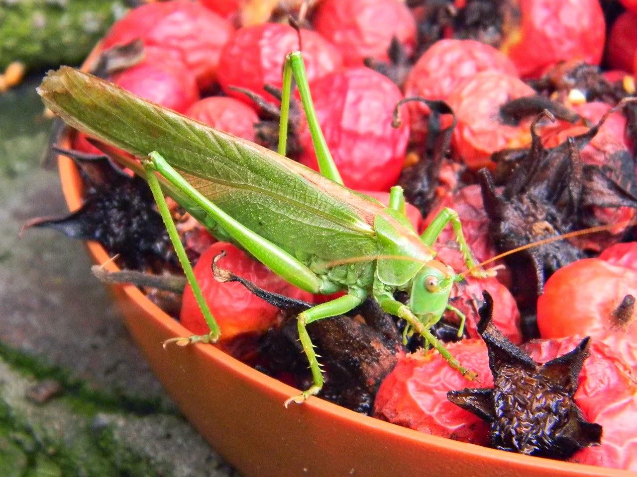 Czym odżywia się pasikonik zielony?