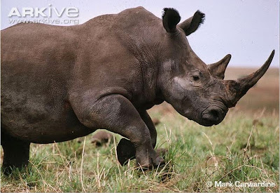 Rinoceronte branco, marfim, caça de rhino, caça, chifre, Ceratotherium simum, rinoceronte, rino, rhino, White Rhinoceros, Northern White Rhinoceros, Rhinocéros blanc du Nord, Rinoceronte Blanco del Norte, Rinoceronte Blanco, White Rhinoceros, chifre de rinoceronte